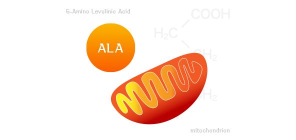 ALA(5-アミノレブリン酸)ってどんなもの?