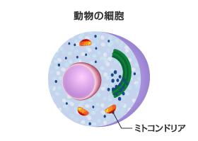 細胞のエネルギーを生み出す「ミトコンドリア」